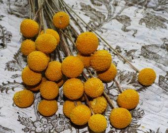 Craspedia, Billy Balls, Yellow craspedia, Drumsticks, Yellow Dried flowers