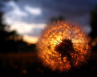 Sunset \/ Dandelion - Original Fine Art Photograph 8x10
