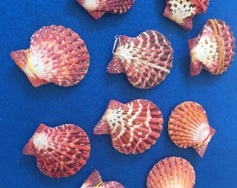 Royal cloak seashell pairs, 2 inches, for crafts, collectors, home decor