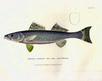 1833 Antique Fish Print, Green Pickering, Marine, Ocean Decor, Sea Life, Beach Decor, Vintage Fish Print, Nautical Art, Cuvier