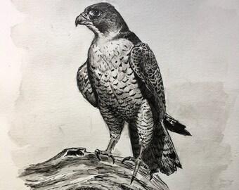 Peregrine Falcon II