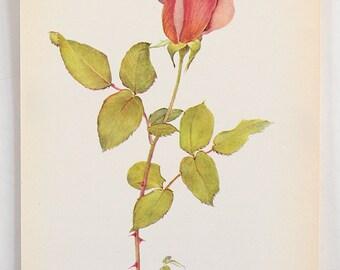 Vintage Botanical Flower Print - Bookplate Plant  Illustration - Red Peach Pink Rose Bud
