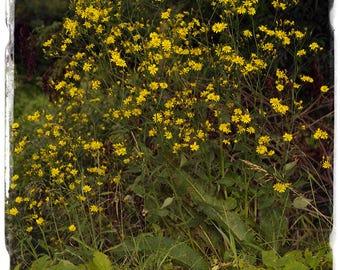 Lapsana communis 'Nipplewort' [Ex. Oxfordshire] 300+ SEEDS