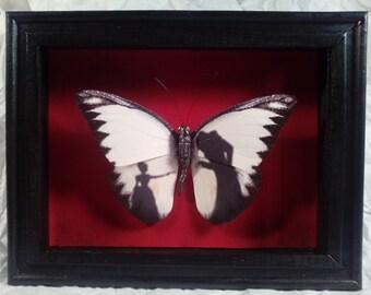 Faux Taxidermy Butterfly  Specimen Shadow Box Horror Series