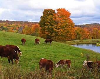 Jenne Farm Cows Congregating, Reading VT, Vermont, Cow Photography, Cow Art, Cow Decor, Cow Print, Farm Decor, Farm Print, Farm Photography