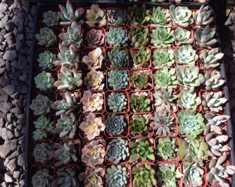 Succulent wedding favors, ten 2 inch size succulents, hand selected, healthy and beautiful assortment of succulents. Great size for favors.