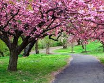 10 Japanese Red Sakura Flower Seeds Cherry Blossoms Tree Bonsai - Combine Shipping!