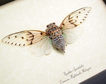 Real Ghost Cicada Conservation Quality Framed Display 2169