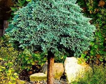 Blue Star Juniper Tree 3-4 Foot