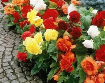 30+ Begonia Mix / Shade Loving Flower Seeds