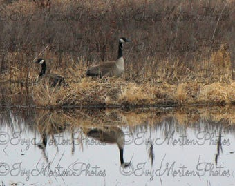 Reflections. Canada Geese nesting. (8 x 10 photo)