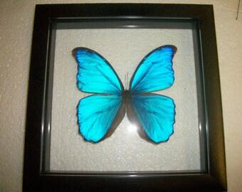 XL Size Blue Morpho Butterfly