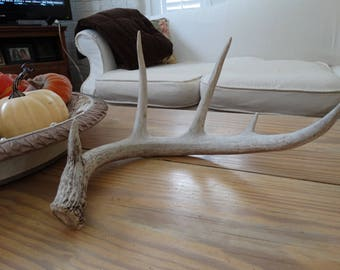Large Shed Antler whitetail Shabby Home Decor,French Farmhouse
