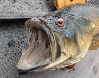 Vintage taxidermy large mouth bass wall mount