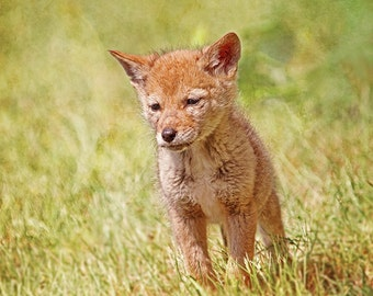 Coyote Print, Baby Coyote, Baby Animals, Coyote Decor, Coyote Wall Art, Nature Photography, Wildlife Art, Canadian Shop