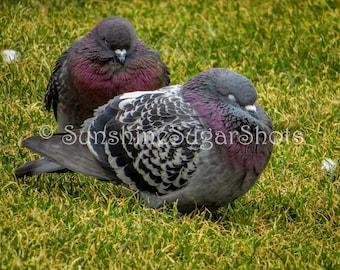 A Pair of Rock Pigeons Relaxing at Alki Beach, Bird Photo, Nature Photo, Digital Photograph, Digital Download, Spring Break