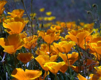 """Digital Download Photography """"Field of Poppies"""""""