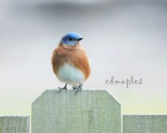 Bluebird Photo, Wildlife Photography, Nature Print, Nature Photo, Color Photo