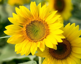 Colby Farm Sunflower, sunflower decor, sunflower photo, sunflower photography, yellow decor, sunflower art, sunflower print, flower art