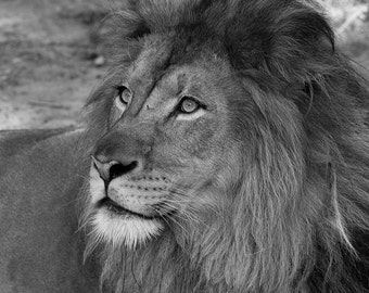 Lion, Nature Photography, Black and White Fine Art Photography