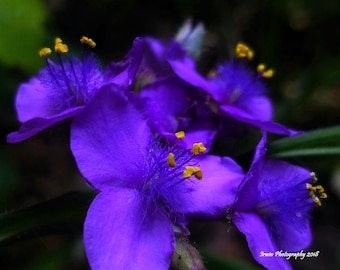 Spiderwort Wildflower, Wall Art, Nature Photography Print, Stock Photo, Digital Image, Summer, Purple, Flowers, Digital Download