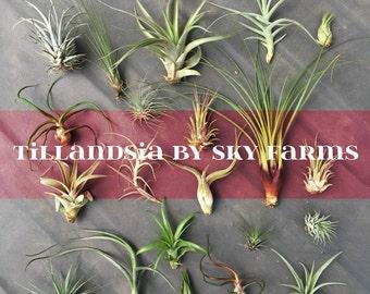 40 assorted Tillandsia air plants - FREE SHIP treasury wholesale bulk lot collection