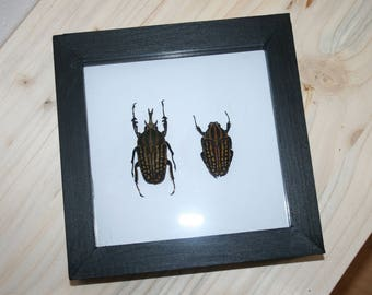 Real Chellorhina savagei pair in frame
