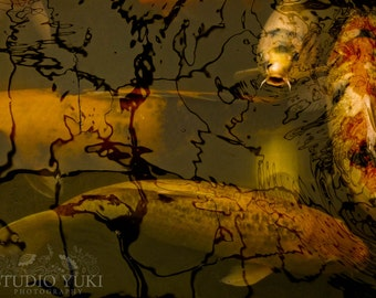 Koi Carp Photo - Fine Art Photography - Nature Animals Surreal Dark Orange Gold - The Power of Myth