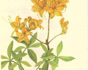 Vintage 1968 Color Print Wild Flowers of America Book PLATE 257 258 Flame Azalea and Mountain Azalea