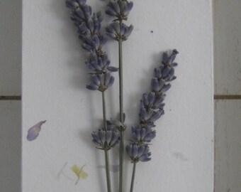 Lavender Herbarium
