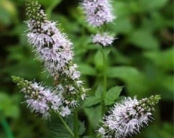 100 Seeds Peppermint Seeds Herb Seeds