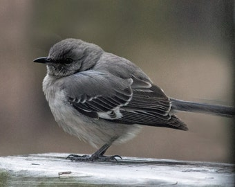 Photograph Mockingbird Fine Art Nature Juvenile