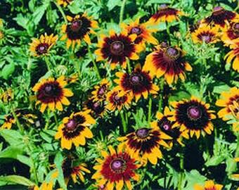 Rudbeckia-Hirta- Autumn Forest- 100 Seeds