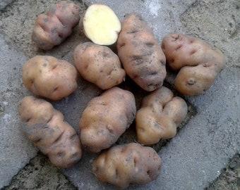 FINE DE GREDOS white, yellow potato,- Solanum tuberosum, rare 2 tubers
