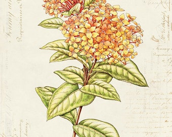 Vintage Botanical Flower Viburnum on French Ephemera Print 8x10 P42