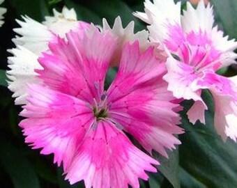 Dianthus barbatus (Sweet William) 100 Seeds D4DB10
