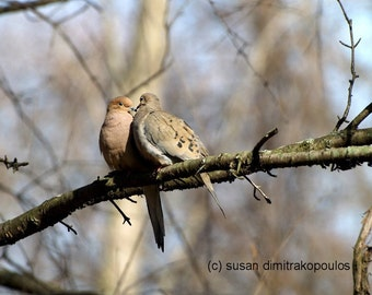 Bird lovers, Courtin' in May, wall art, fine art photo, home cottage decor, mourning doves, nature, wildlife, gift 20