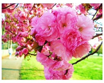 Kwanzan Cherry Tree, Pink Blossoms, 1 Gallon Potted, Landscaping, Double  Pink Flowers, Fall Colors, Full Sun, Deciduous Tree, Beautiful