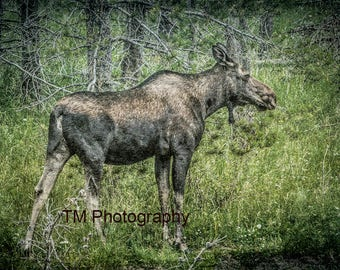 Moose - Cow - Wildlife - Cow Moose - Nature - Wild Animal - Animal - Fine Art Photography