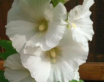 White Hollyhock Flower Seeds, White Hollyhocks, Alcea Rosea, Garden Hollyhock Seeds, Tall Perennial Seeds  *FREE SHIPPING in the US*