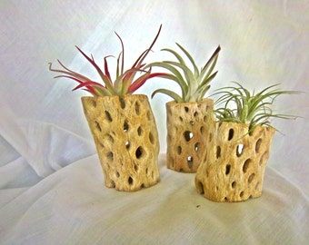 Air Plants Red Abdita, Ionantha, & Plagiotropica on Cactus Wood Stumps Planters