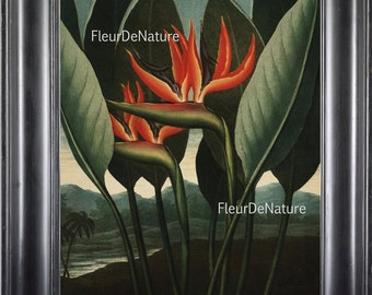 BOTANICAL PRINT THORNTON 8x10 Botanical Art Print 10 Beutiful Antique Bird of Paradise Flower Tropical Garden Plants to Frame Room Decor