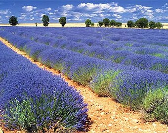 "French Provence Lavender / Lavandula X Intermedia ""Provence"" in 4 Inch Pots"