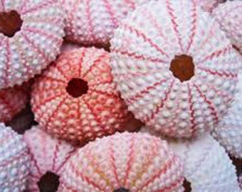 Pink Sea Urchin Shells, craft shell, shell planter, bulk shells, air plant holder, air plant shell, beach decor, beach crafts, beach wedding