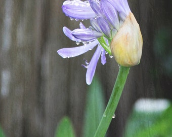 Flower Photography, Fine Art Photography - Lavender Agapanthus in the Rain
