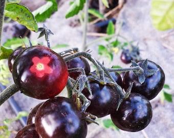 Indigo cherry tomato seeds, open pollinated, heirloom seeds