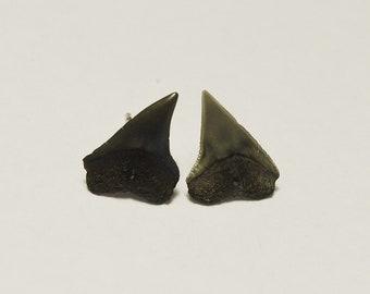 Charleston Sharks Tooth Earrings - Post/Stud Earrings - Fossil Shark Tooth Earrings
