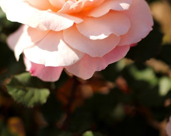 Perfect Pale Pink Rose - Garden Flower Photo Print - Size 8x10, 5x7, or 4x6