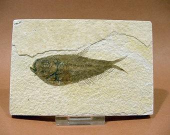 Diplomystus dentatus Fossil Fish from Greenriver Utah 60 Million Years Old  17T110