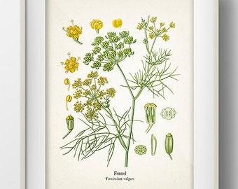 Vintage Fennel Print - KO-20 - Fine art print of a vintage natural history antique illustration